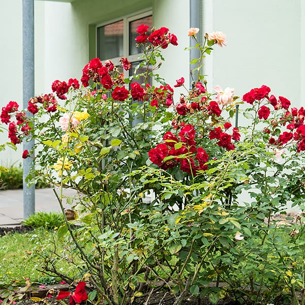 Rosenstrauch im Rosengarten